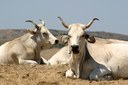 allevamento bovini, razza romagnola