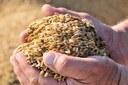 cereali, filiera seminativi