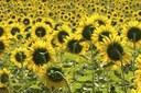 coltivazione girasoli, filiera oleoproteaginose