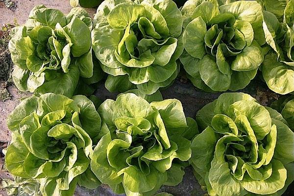 Agricoltura biologica, insalata, bio, biologico