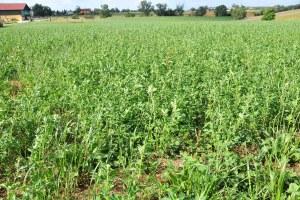 Agricoltura, erba medica, coltivazione, estate