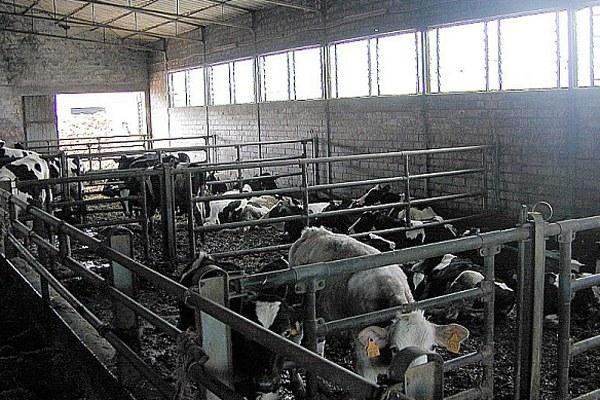 Allevamento, mucche, bovini, latte