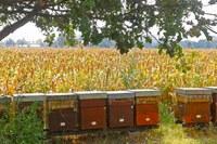 Apicoltura miele 1