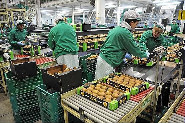Azienda, produzione kiwi