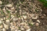bietole zucchero campo