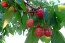 Ciliegie, frutta, agricoltura, alberi da frutto