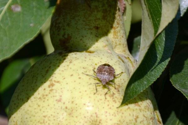 Cimice della frutta, asiatica 2