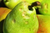 Cimice della frutta, asiatica, danni, pera
