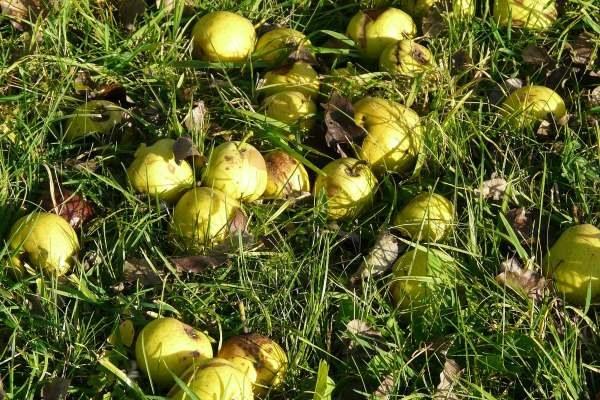 danni grandine mele