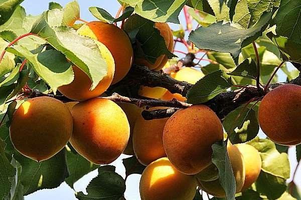 frutta, albicocche