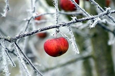 frutteto, gelata, inverno