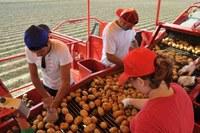 giovani agricoltori patate