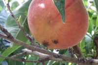 Cimice asiatica - Halyomorpha halys - danni all'agricoltura_3