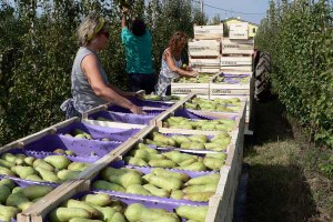 pere, donne, agricoltura