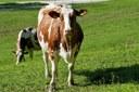 Prato stabile, prati, campo fiorito, mucca, allevamento