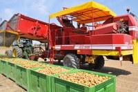 Patate, lavorazione, raccolta, campagna