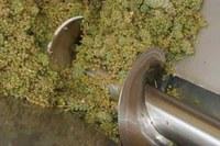 uva  vino vendemmia