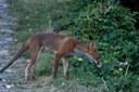 volpe 1 fauna selvatica