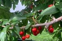 Ciliegia ciliegia Vignola Igp