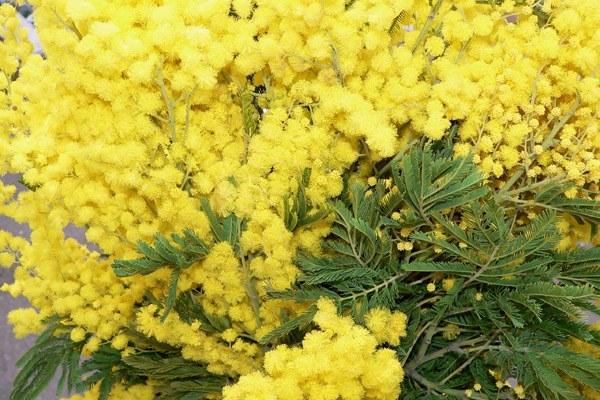 Mimose, mimosa, 8 marzo festa donne