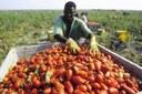 Sfruttamento, raccoglitore di pomodori