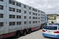 Controllo animali trasportati, benessere animale