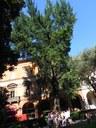 Ginko piazza Cavour (BO)