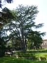 Cedro parco Massari (FE)